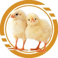 Заказ суточных цыплят